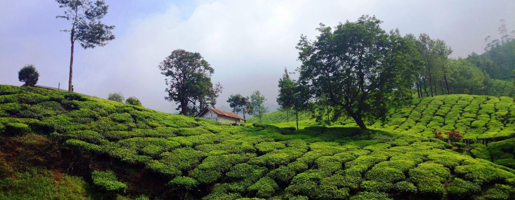 Tea/Spice Plantation Visit in Kerala