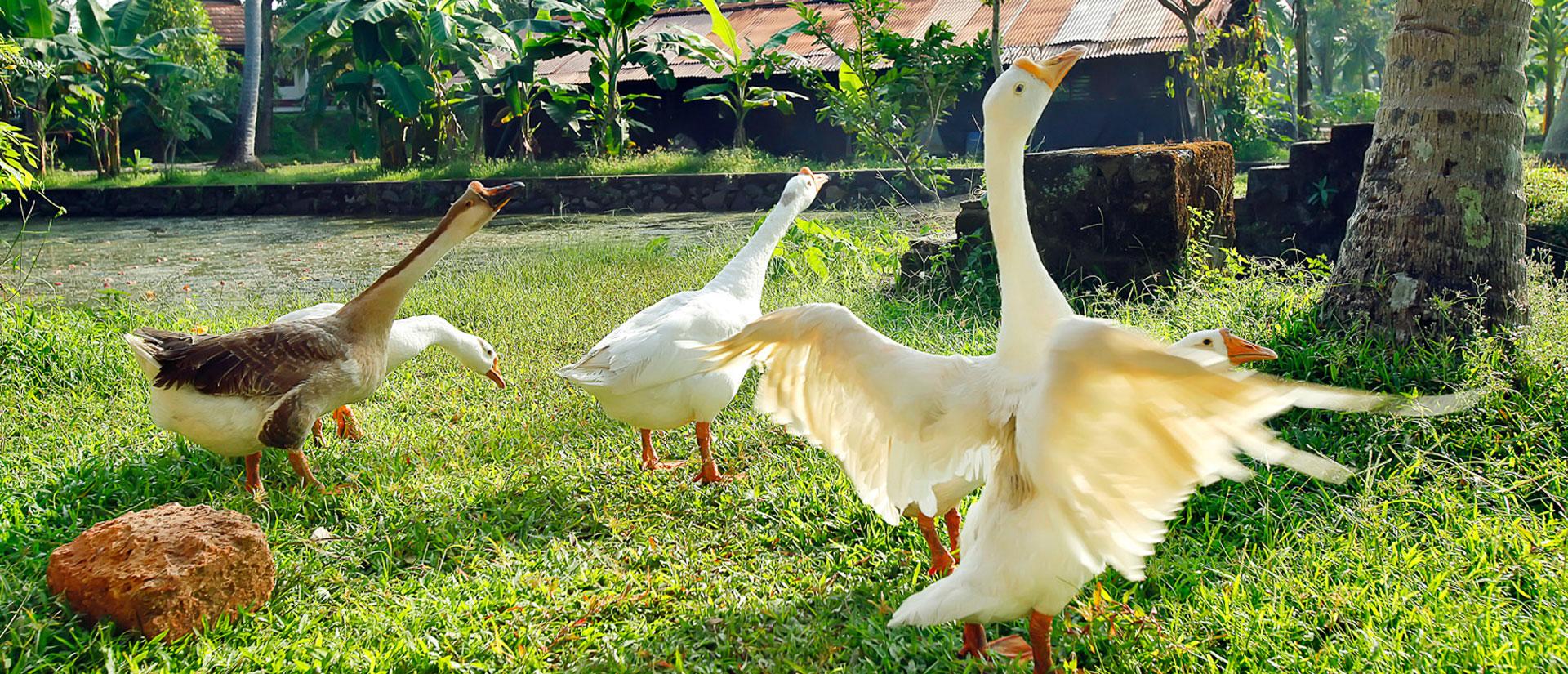 swan in farm
