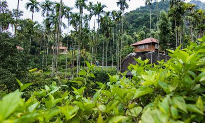 A plantation stay surrounded by tea gardens