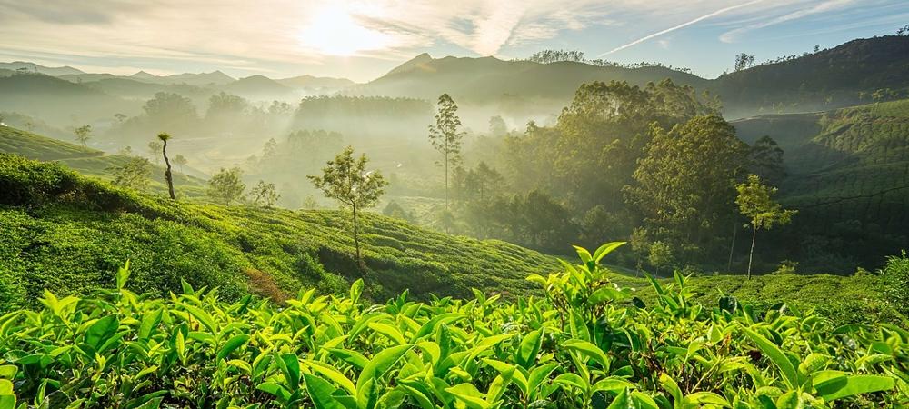 The tea gardens in misty Munnar