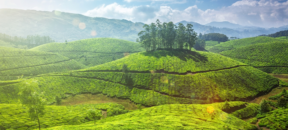 The shimmering tea garden of Munnar on a bright sunny day