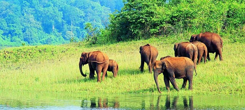 A herd of elephants near the lake in Periyar