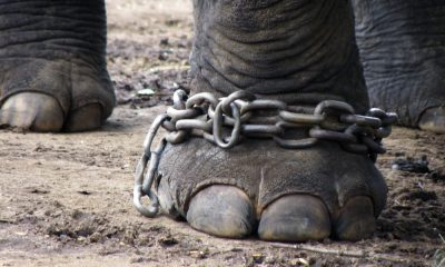 The leg of an elephant chained