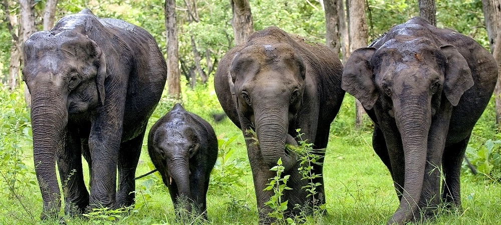 Three elephants and a calf walking on grass