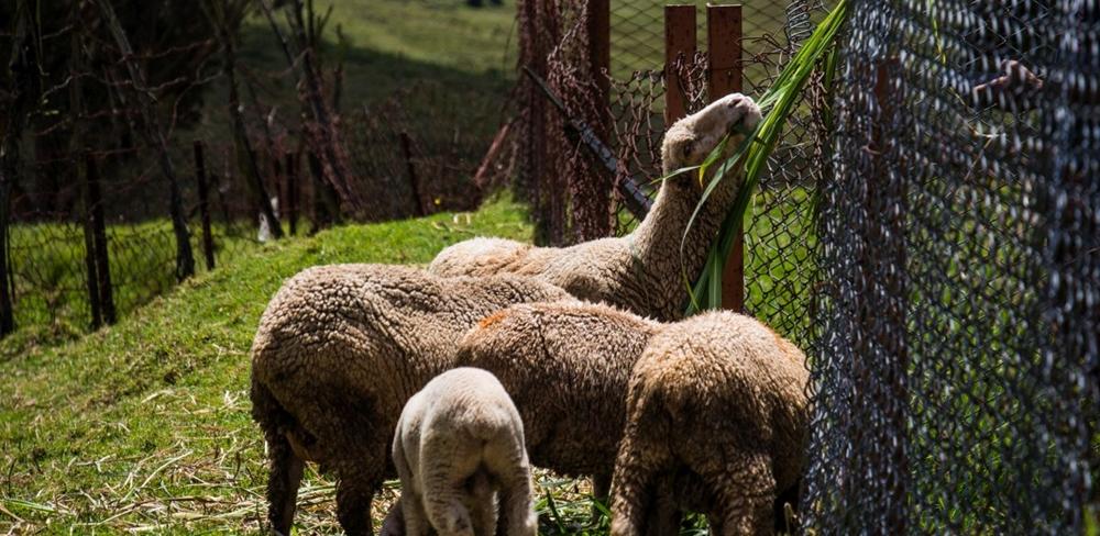 A herd of sheep feeding on grass