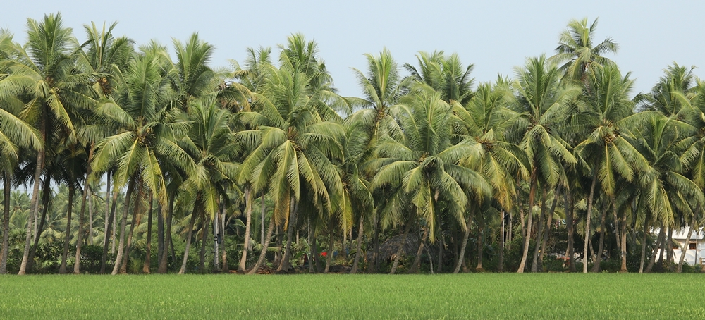 A region filled with coconut trees