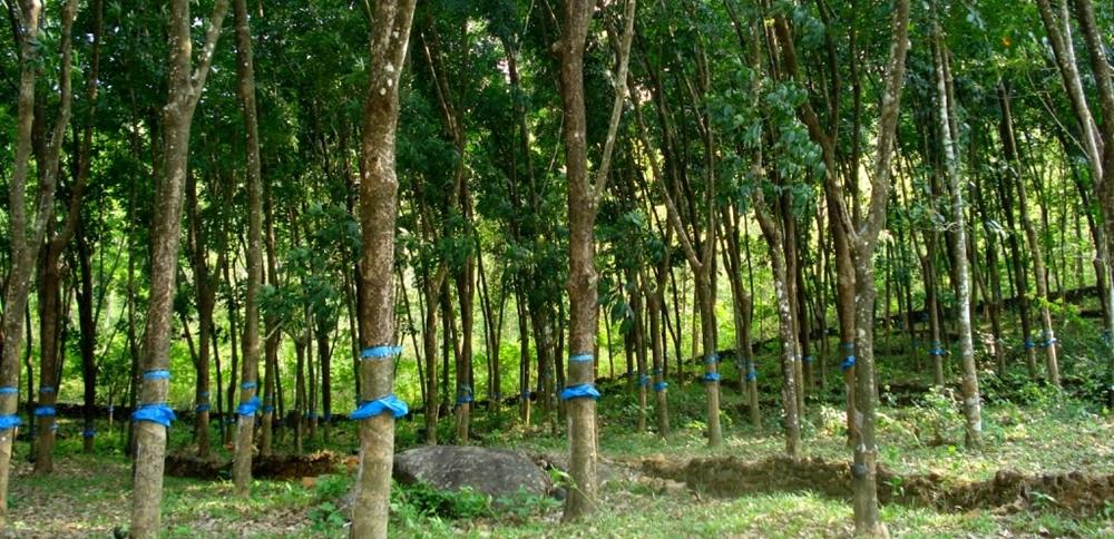 A vast rubber plantation in Kerala