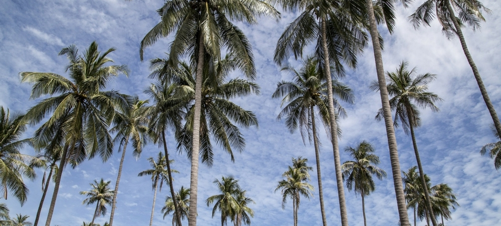 Coconut trees under the blue sky