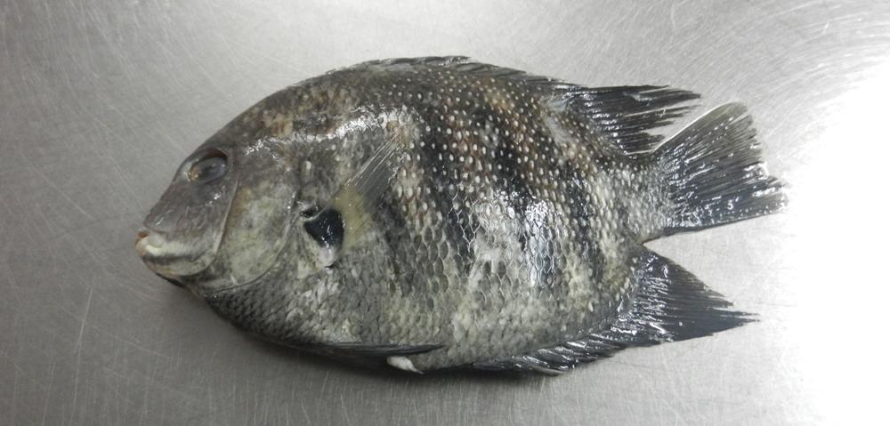 Raw Pearl Spot Fish