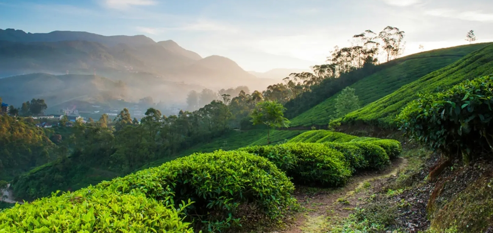 Lush tea plantations and mountains