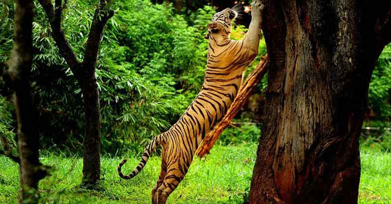 tiger climing a tree