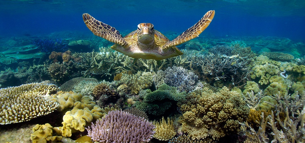 Turtle near the coral reef